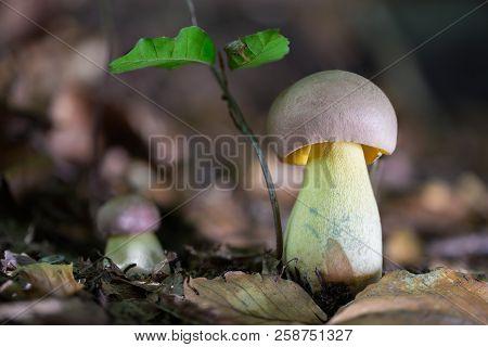 Butyriboletus Fuscoroseus