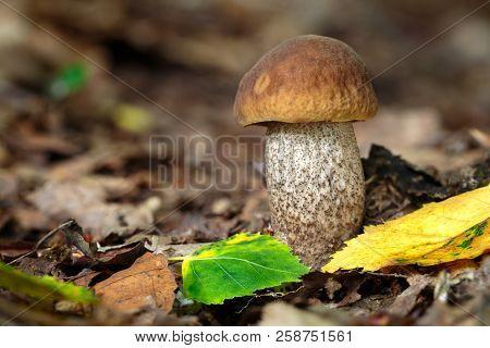 Leccinum Pseudoscabrum