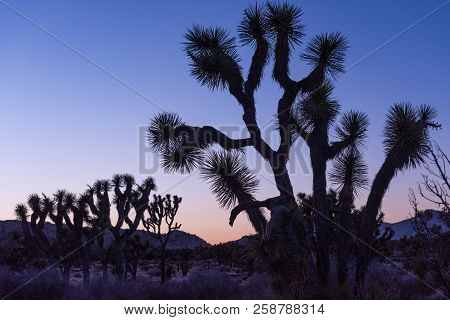 Silhouetted Joshua Trees (yucca Brevifolia) At Dusk Off Stubbe Springs Loop In Joshua Tree National