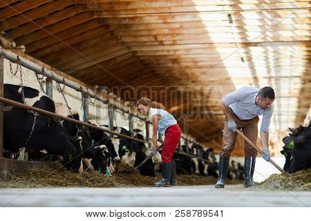 Wide angle portrait of mature couple working together in cow shed cleaning and feeding cows, copy space