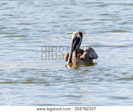 Brown Pelican (pelecanidae Chordata) Floating On The Water