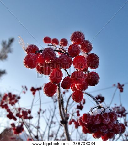 Berries Viburnum In The Garden, Omsk Region, Siberia, Russia