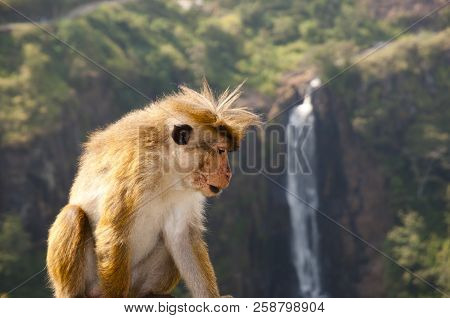 Wild Macaque In Horton Plains - Sri Lanka