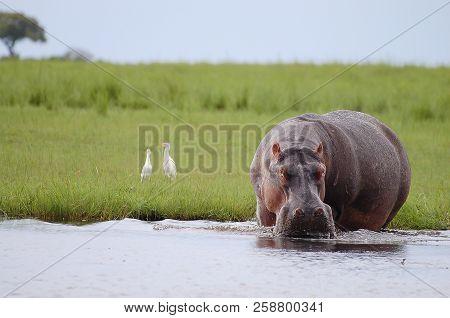 Hippopotamus - Chobe National Park - Botswana