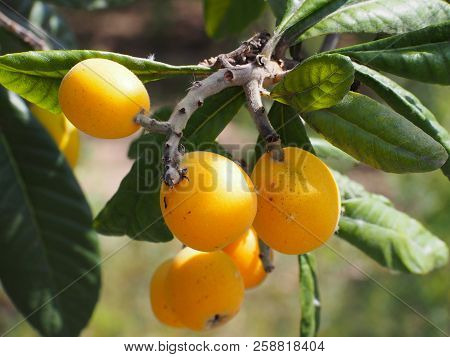Loquat fruits (Eriobotrya japonica) on tree. This ancient fruit rich in vitamins, minerals and anti-