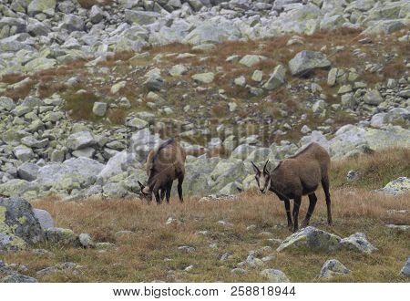 Group Of Chamoises Grazing On Autumn Rocky Meadow. The Tatra Chamois, Rupicapra Rupicapra Tatrica ,