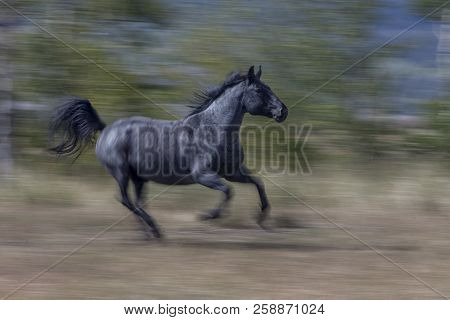 Black Arabian Horse Running With Blur Background