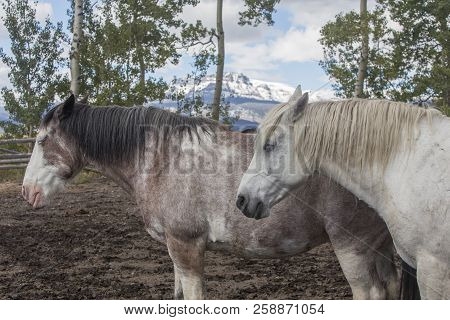 Two Wyoming Ranch Horses Standing In Corral, Snow On Mountains