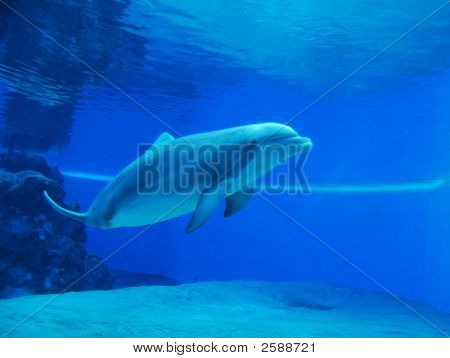 Dolphin swimming in clear blue water aquarium poster