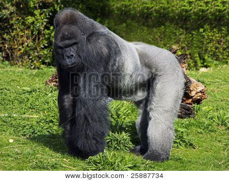 poster of A large male silver back western lowland gorilla standing in a powerful position surveying his territory