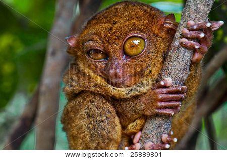 Big-Eyed Tarsier Winking with one Eye