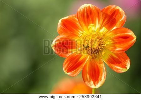 Close-up Of A Bee On A Red Dahlia Pooh Flower In The Morning Sun. View To A Blooming Multi-colored D