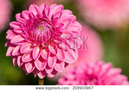 Close-up Of A Pink Ball Dahlia Flower In The Morning Light. View To Blooming Ball Dahlias In The Sum