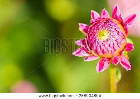 Close-up Of A Beautiful Pink Ball Dahlia In The Summertime. View To A Purple Ball Dahlia Bud On A Su