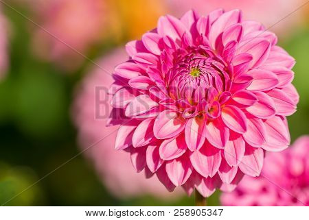 Close-up Of A Beautiful Pink Ball Dahlia In The Summertime. View To A Purple Ball Dahlia On A Sunny