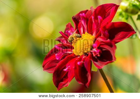 Close-up  Of A Red Dahlia Pooh Flower In The Morning Light. A Honey Bee On A Red Dahlia Pooh Flower