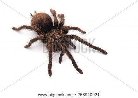 Crawly Birdeating Spider Isolated On White Background