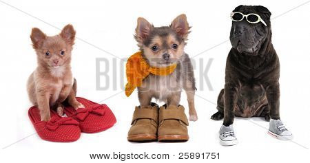 Three puppies (chihuahua and shar-pei) with different slippers, boots and sneackers, isolated
