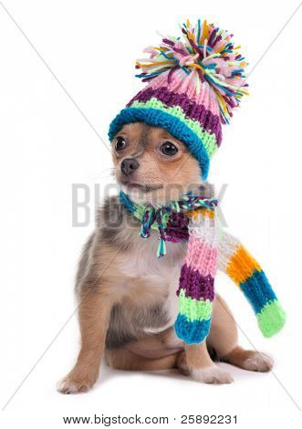 Puppy Dressed For Cold Weather With Scarf and Hat, Isolated