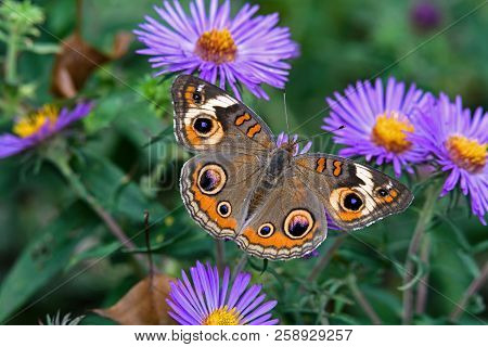 Junonia Coenia, Known As The Common Buckeye Or Buckeye On New England Aster. It Is In The Family Nym