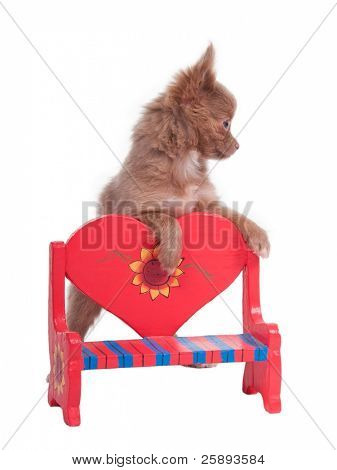 Tiny Chihuahua stepping on a romantic red heart-shaped bench