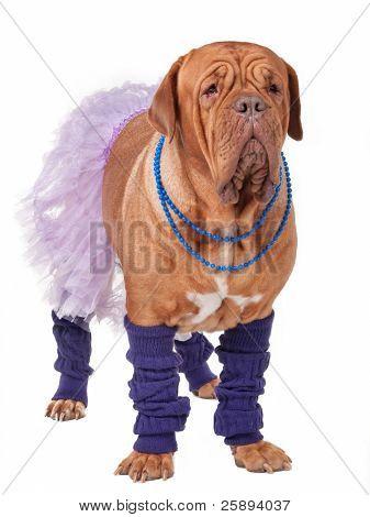 Big dogue de bordeaux dressed like ballerina isolated on white