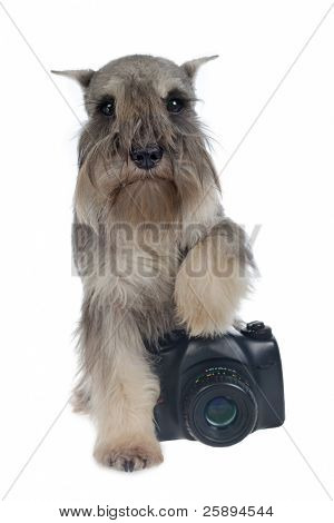 Zwergschnauzer dog with a digital photo camera