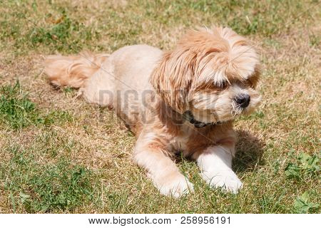Red Lhasa Apso Dog Lying In The Grass Of A Garden