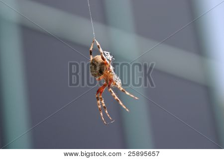 a rather large garden spider hangs from its web and decides which way it plans on going next