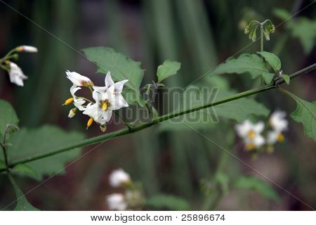 Belladonna (aka Poision Night Shade) flowers bloom with beautiful flowers. Plant contains Atropine