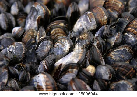 Mytilus edulis (The common or edible mussel) living on rocks in the ocean in Dana Point California