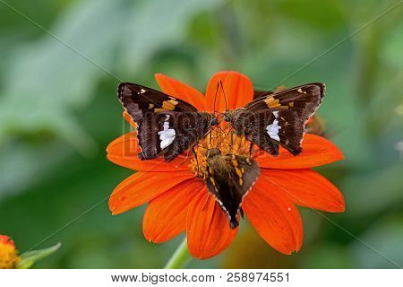 Silver-spotted Skippers Feeding On Tithonia Flower. Epargyreus Clarus, The Silver-spotted Skipper, I