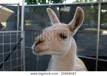 pretty eyes on a friendly lama poster