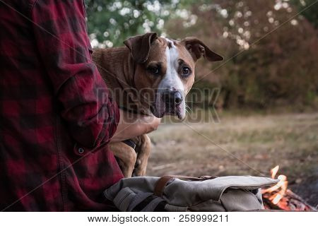 Dog On Hands Of A Male Hiker. Portait Of Beautiful Pitbull Dog Sitting On Laps Of A Owner At A Campi