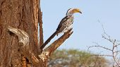 A Southern Yellow-Billed Hornbill in the Kruger National Park South Africa. poster