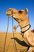 Head of a camel on safari - Thar desert Rajasthan India poster