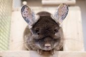 Cute chinchilla of brown velvet color is sitting on a wooden shelf near to its house and looking into the camera, front view. poster