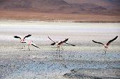 Flamingos in the Salt flat of Atacama (Chile) poster