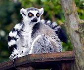 A Ring Tailed Lemur, Lemur Catta sitting on a perch poster