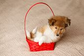 Shetland sheepdog. Portrait of fluffy sitting sheltie dog puppy in basket poster