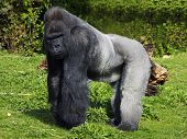 A large male silver back western lowland gorilla standing in a powerful position surveying his territory poster