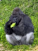 A western lowland silver back male gorilla eating vegatables sitting against a green folliage background poster