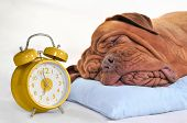 Big Dog Sleeping Sweetly with Golden Alarm-Clock poster