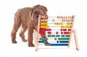 Shar-pei puppy is learning to count with Abacus, isolated on white background poster