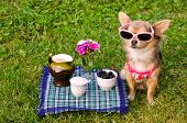 Little chihuahua dog wearing pink t-shirt relaxing in meadow picnic poster
