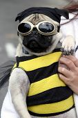a small dog (a pug), wears a bee costume with goggles during a parade poster