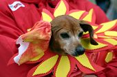 a cute small dog wears a flower costume during a parade poster