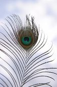 a peacock feather against a blue sky with white fluffy clouds poster