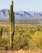 Tall sonoran desert cactus with the city of Scottsdale in the background poster