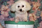 ,Fifi a Bichon Frise smiles while in her basket poster